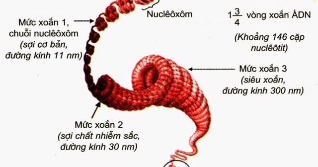 Phân tử ADN liên kết với protein mà chủ yếu là histon đã tạo nên cấu trúc đặc hiệu gọi là gì