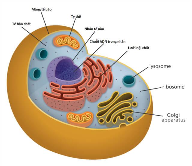 So sánh tế bào động vật và tế bào thực vật