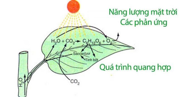 Tại sao lá cây có màu xanh? Màu xanh của lá cây có liên quan tới chức năng quang hợp hay không?
